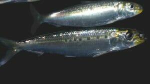 Sardine Blue Fish