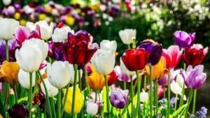 Tulip Wallpapers | Tulipa kaufmanniana