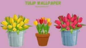 Tulip Wallpapers   Tulipa kaufmanniana